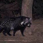 Civet arrastrándose por los arbustos en la noche