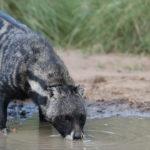 Civet bebiendo agua de un aroyo