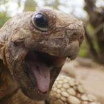 Close up de tortuga leopardo. ©John Downer Productions