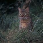 Gato salvaje africano observando su presa