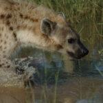 Hiena en el agua