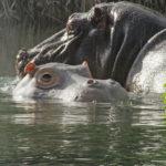 Hipopótamo espía junto a hipopótamo. ©John Downer Productions