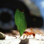 Hormiga llevando una hoja, imagen compuesta. ©BBC 2014