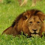 León cazando