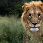 León, el rey de la selva