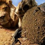 León se interesa en una bola gigante de estiércol creada por un escarabajo macho para atraer a un compañero, imagen compuesta. ©BBC 2014