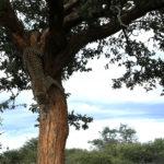 Leopardo bajando del árbol