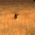 Leopardo entre la hierba