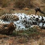 Leopardo tendidio en el suelo