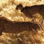 Leopardos al acecho