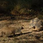 Mangosta descubre a tortuga escondida