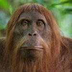 Orangután espía de cerca en el bosque, Borneo. ©John Downer Productions
