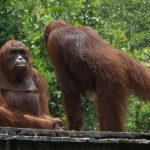 Orangután inspeccionando al espía orangután. ©John Downer Productions
