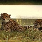 Pareja de leopardos entre la hierba