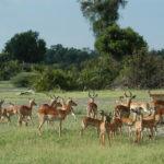 Pastoreo de impala y Lechwe