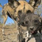 Perro salvaje cachorro, mirando el lente. ©John Downer Productions
