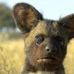 Perro salvaje espía. ©John Downer Productions