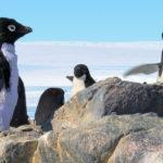 Pingüinos adelaida, Antártida. ©John Downer Productions