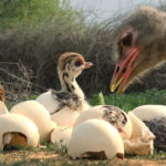 Pollo de avestruz espía en el nido con otros pollitos recién nacidos, hembra adulta inspeccionando el nido. ©John Downer Productions