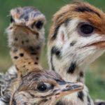 Pollo de avestruz espía en nido con polluelos de avestruz. ©John Downer Productions