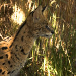 Serval vigilando presa