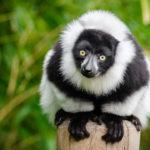 Lemur Madagascar. ©Pixabay