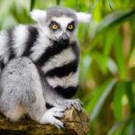 Lemur en selva. ©Pixabay
