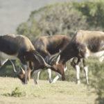 Bontebok-macho-en-la-reserva-Natural-de-De-Hoop.-©Homebrew-Films