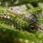 Camaleón---Madagascar