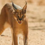 Caracal,-Namibia.-©Homebrew-Films