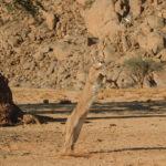 Caracal-saltando-para-atrapar-a-su-presa,-Namibia.-©Homebrew-Films.