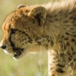 Cheetah,-Namibia.-©Homebrew-Films