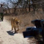 Grabando león andando