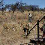 Grabando leonoes 1