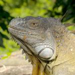 Iguana---Cota-Rica