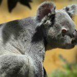 Kolala-Australia