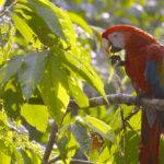 Loro---Costa-Rica