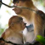 Mona-nariguda-y-cría---Borneo