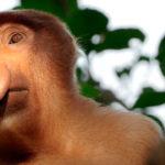 Monos-probóscide---Borneo