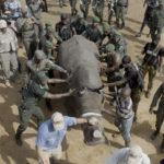 Rinoceronte-blanco-durante-los-preparativos-para-el-proceso-de-reubicación-con-la-ayuda-del-equipo-militar-local-de-Costa-de-Marfil.-©Homebrew-Films