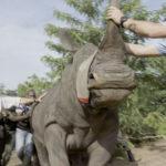 Rinoceronte-blanco-preparándose-para-el-proceso-de-reubicación,-pueblo-de-Diamalabo,-Costa-de-Marfil.-©Homebrew-Films