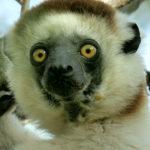 Sifaka---Madagascar