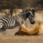 Zebra y león en acción