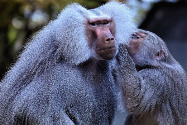 10 hechos curiosos sobre los babuinos