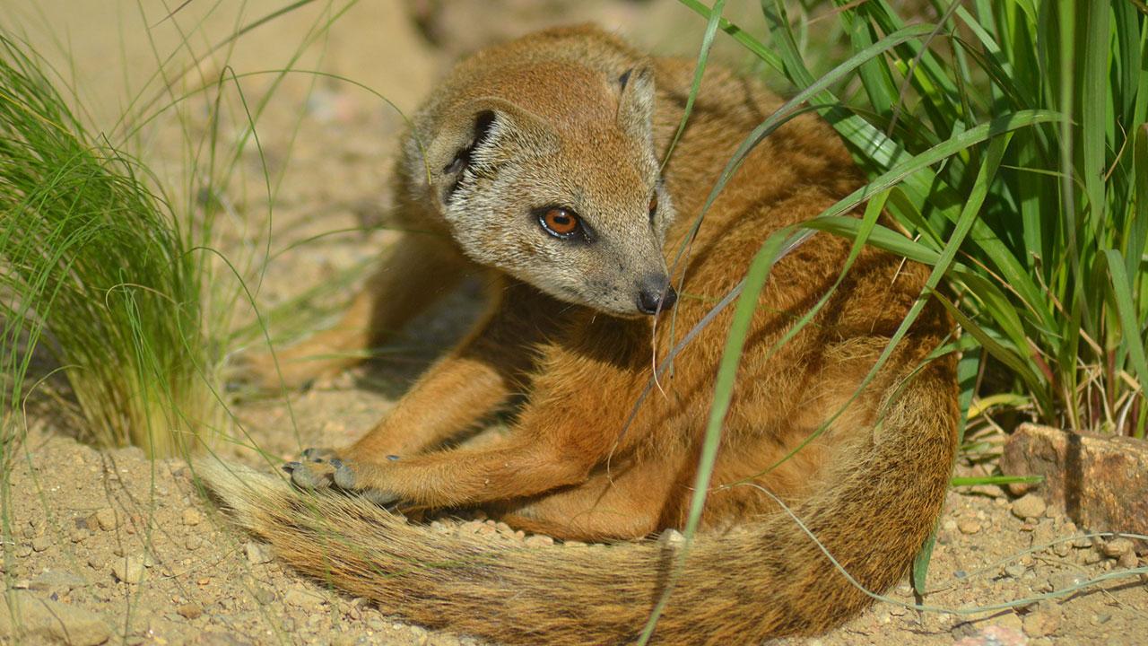 10 hechos curiosos sobre las mangostas amarillas