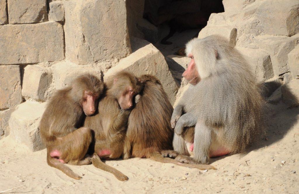 Babuinos en Mundo Salvaje