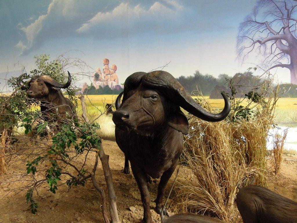 10 hechos curiosos sobre Búfalos