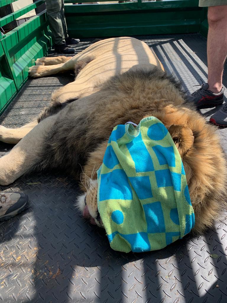 Mundo Salvaje: León anestesiado para chequéo físico