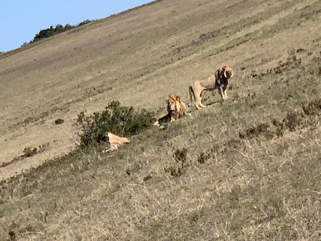 Mundo Salvaje: leones curiosos por las cámaras del equipo de producción