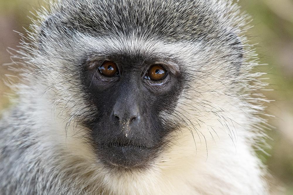 Mundo Salvaje - Cara de mono